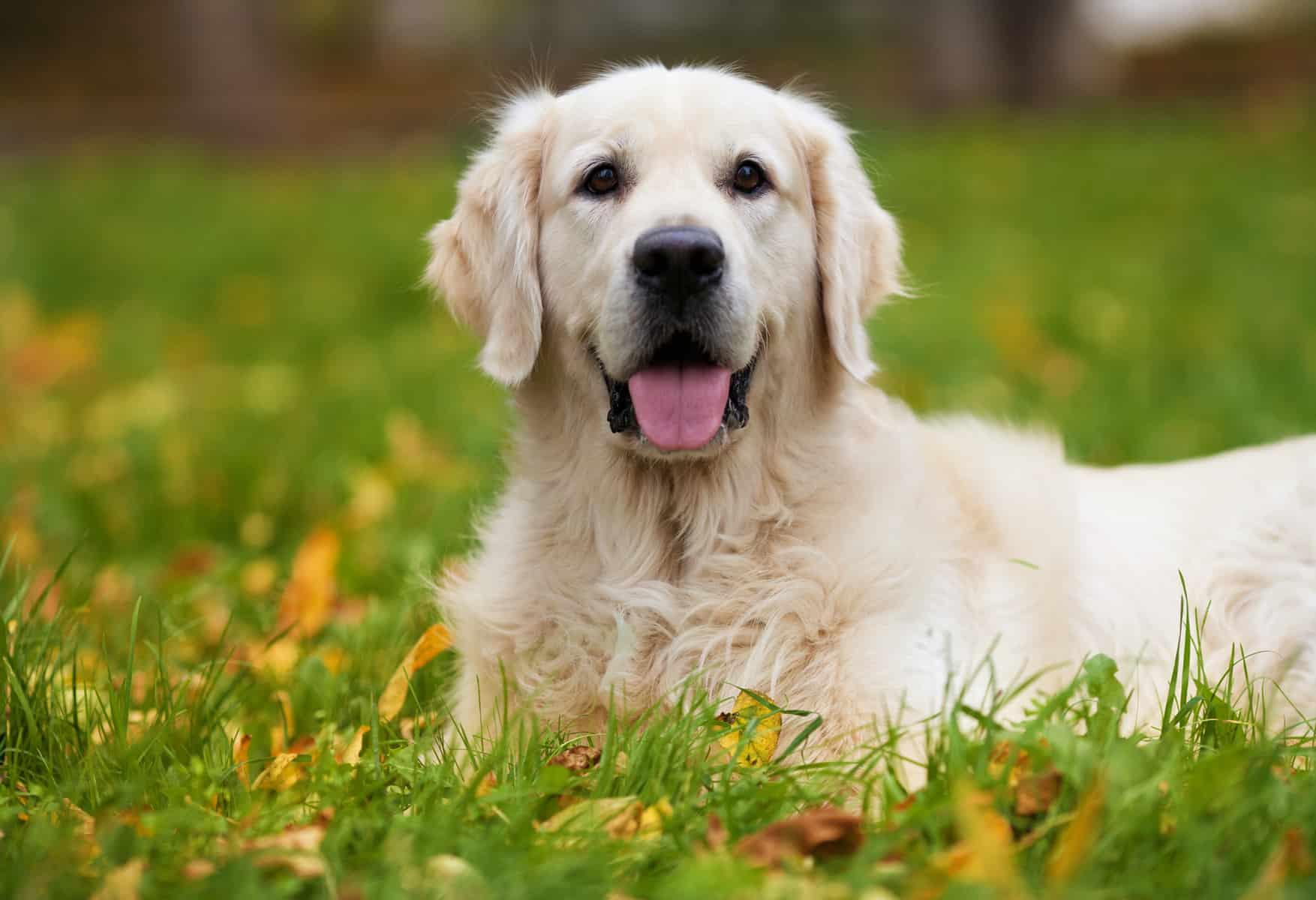 a happy Golden Retriever peeking through tall grasses