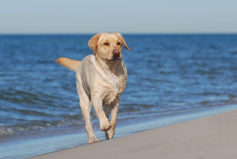 An American Labrador walking on the beach
