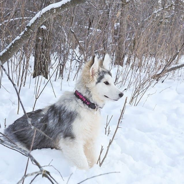 Meet the Samoyed Alaskan Malamute mix