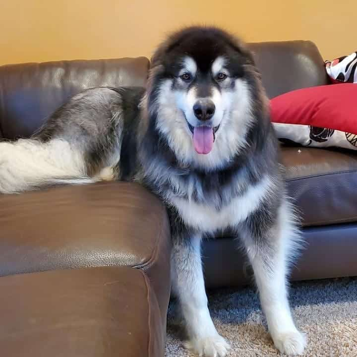 Take a look at the size of a Giant Alaskan Malamute