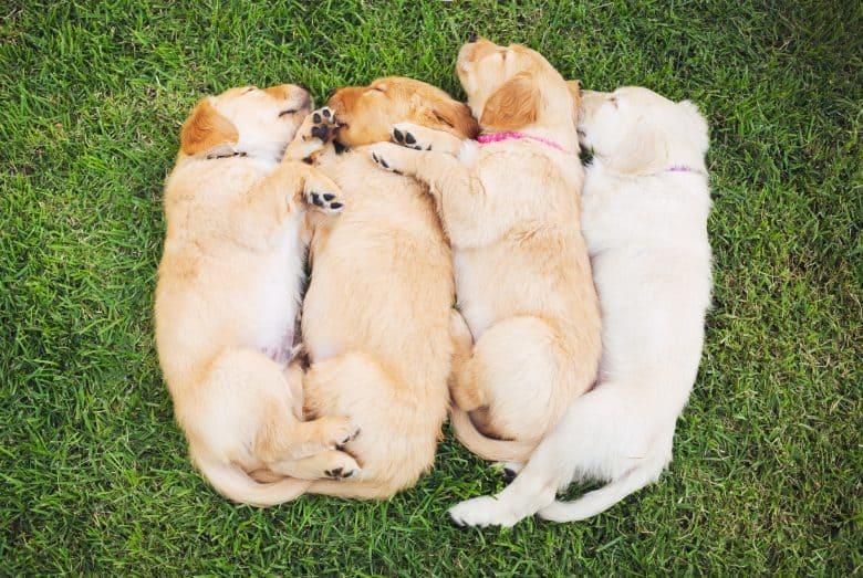 Sleeping Golden Retriever Puppies