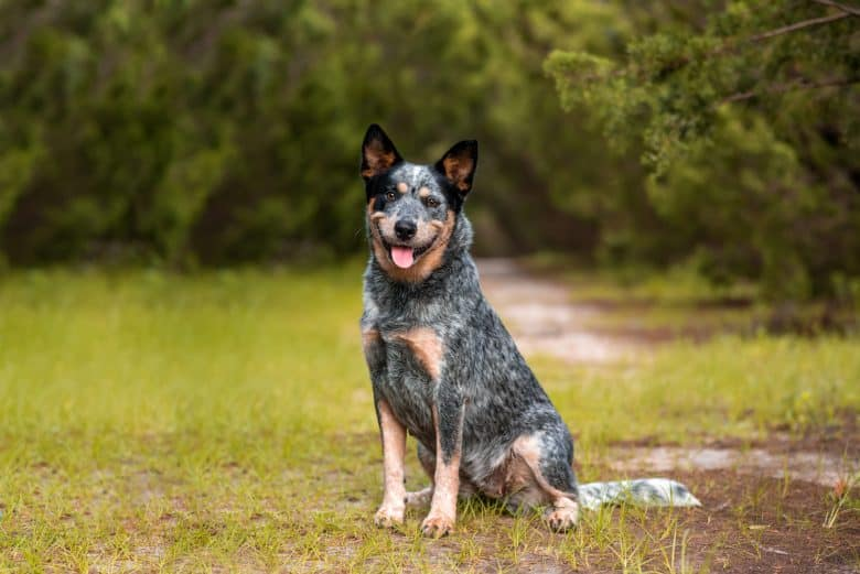 Meet the Australian Cattle Dog