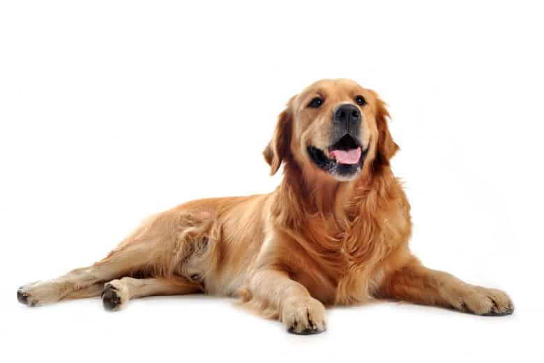 A smiling Golden Retriever dog