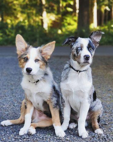 Meet Ozzy and Phinea, the Texas Heelers