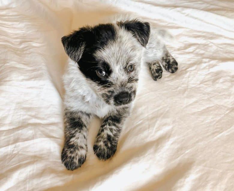 Meet Luna, the Texas Heeler puppy
