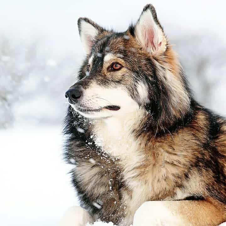 Meet the Utonagan Dog