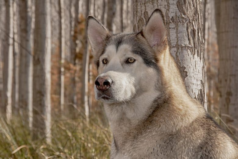 Meet the Timber Wolf & Alaskan Malamute mix