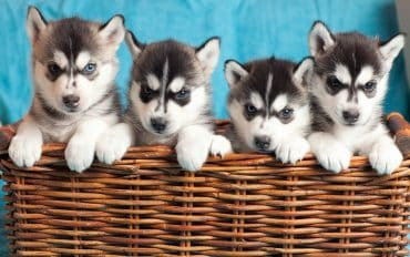 Siberian Husky puppies at basket
