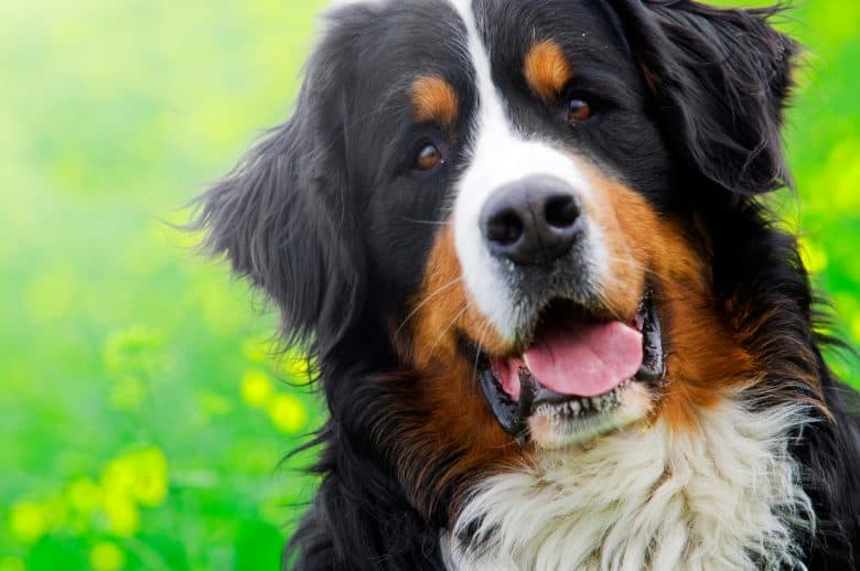 Bernese Mountain Dog is Smiling