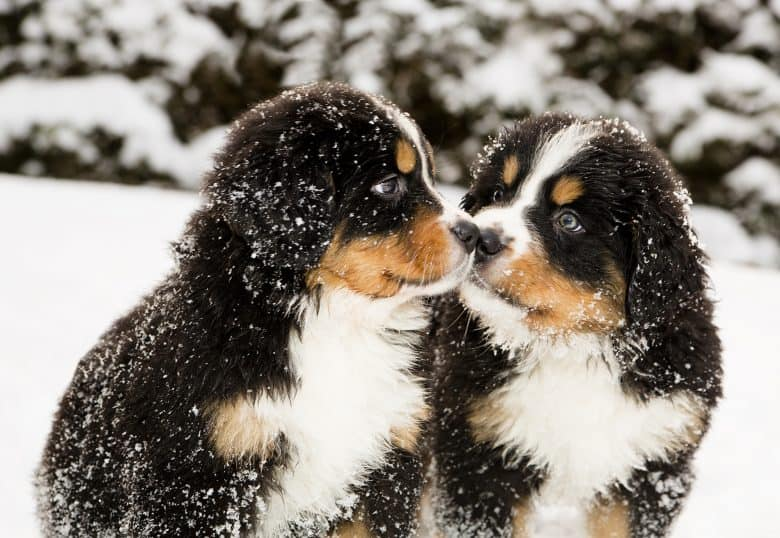 Snowy two bernese mountain dog puppets sniff each others