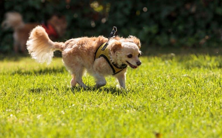 Adorable Golden Retriever Chihuahua mix