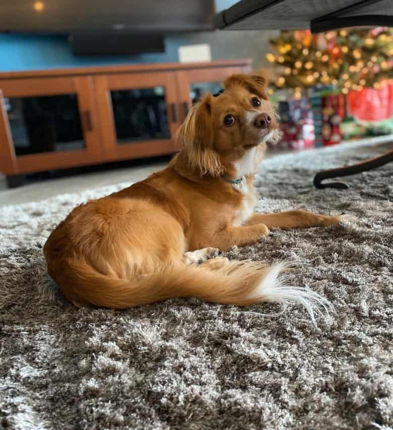 Golden Chihuahua lying on the carpet