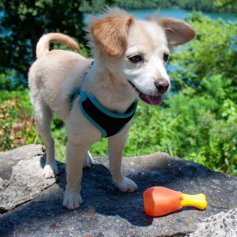 Golden Retriever Chihuahua mix puppy