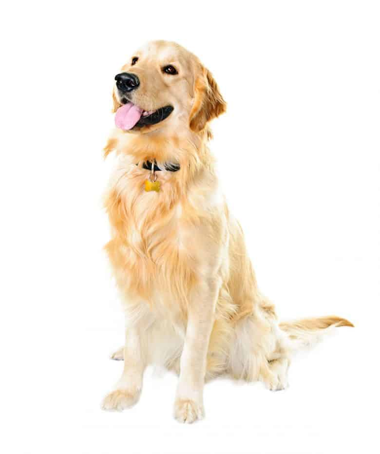 Sitting Golden Retriever dog