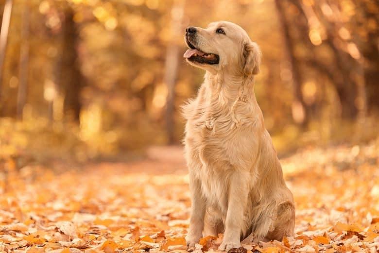 Golden Retriever in the autumn park