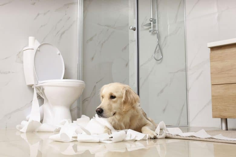 Golden Retriever playing with toilet paper