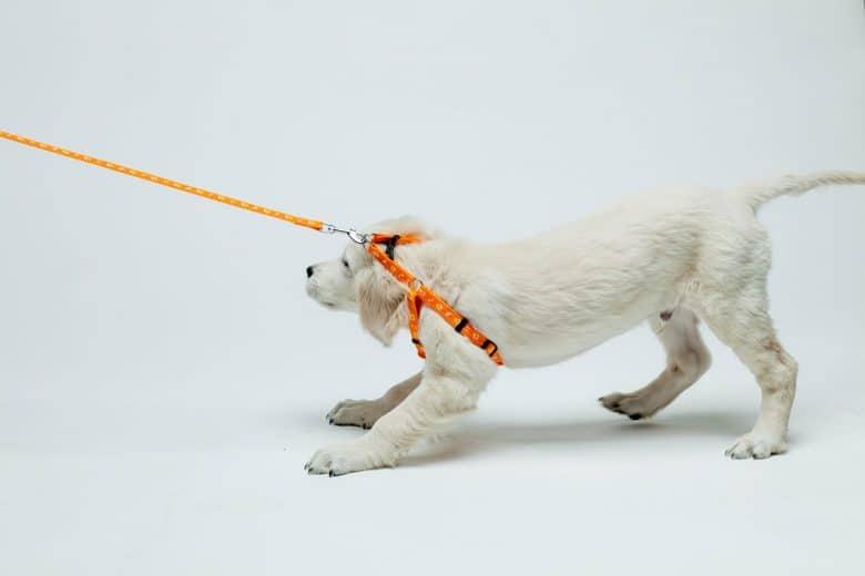 Golden Retriever puppy wearing harness