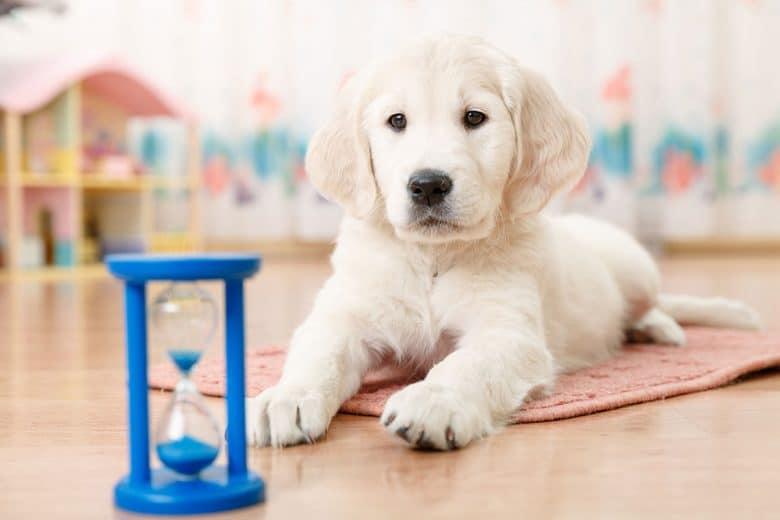 Golden Retriever puppy training with hourglass