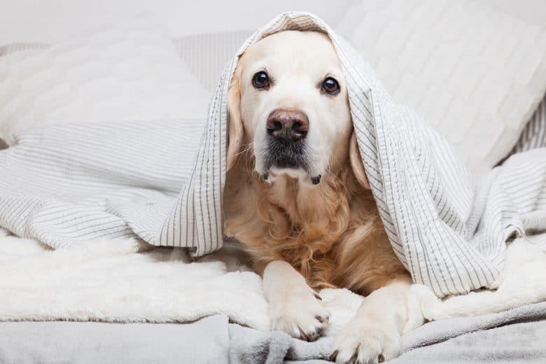Golden Retriever warms under the blanket