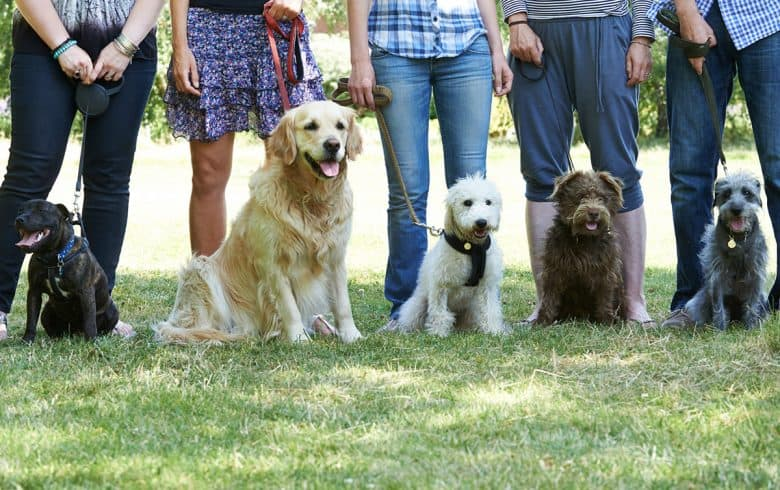 Golden Retriever with other dogs