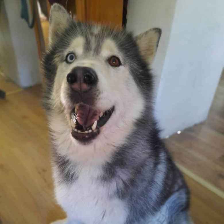 Husky Malamute mix barking for attention