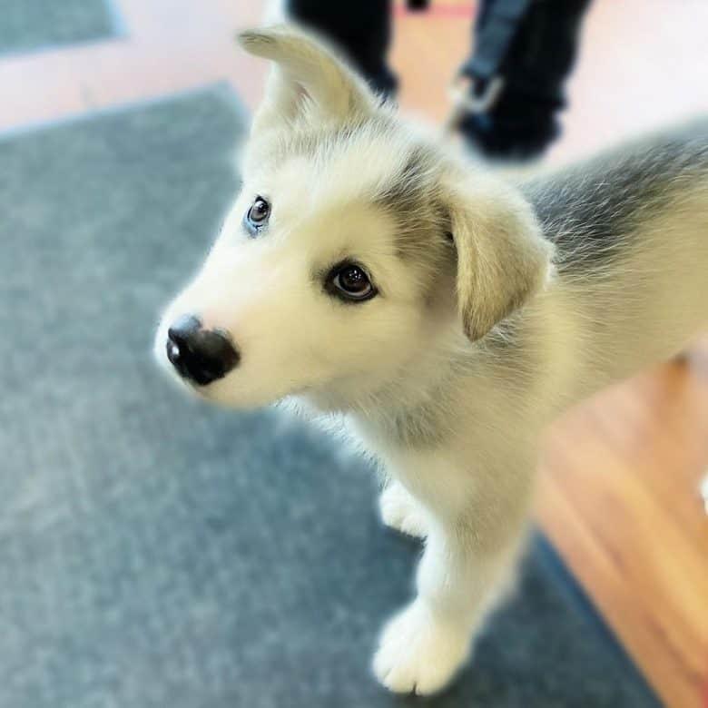 Husky Malamute mix puppy