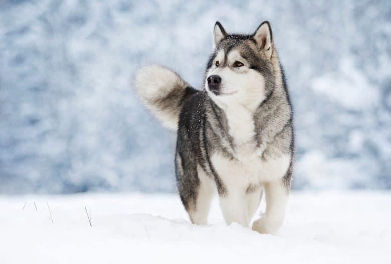 Husky Malamute walking in snow