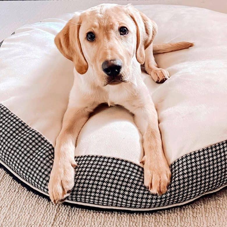 Yellow Labrador Retriever lying on his cozy bed