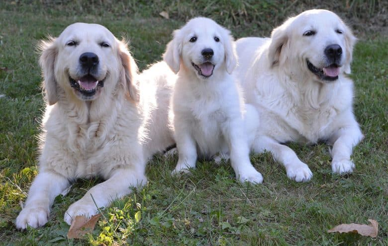 Adult and young English Cream Golden Retrievers