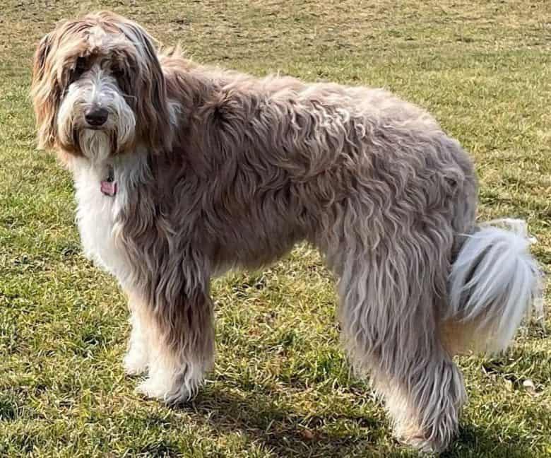 Adult Borderdoodle dog