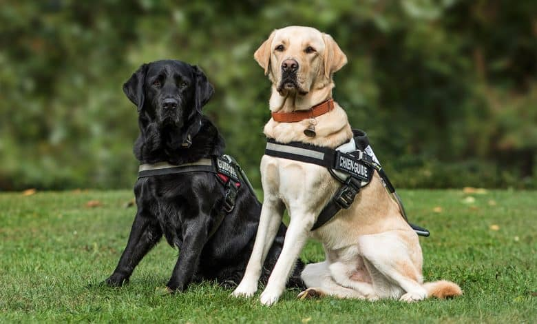 Two Labrador Retrievers sitting in the grass