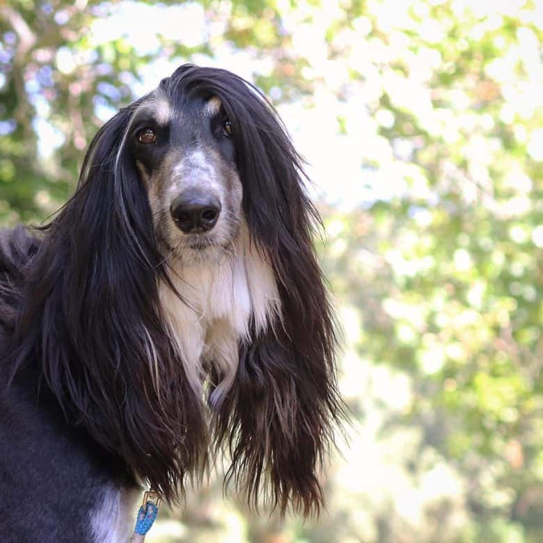Afghan Hound beautiful face