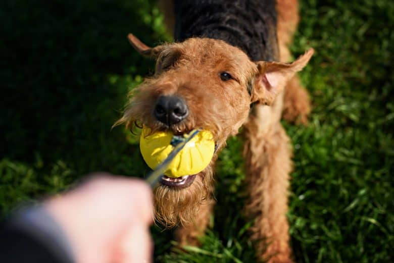 Airedale Terrier playing a ball