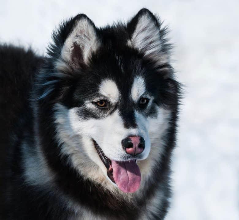 Alaskan Malamute Husky mix