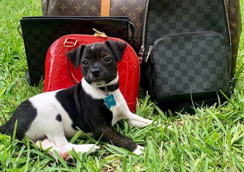 American Bulldog Chihuahua mix