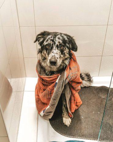 Australian Shepherd Husky mix after bathing