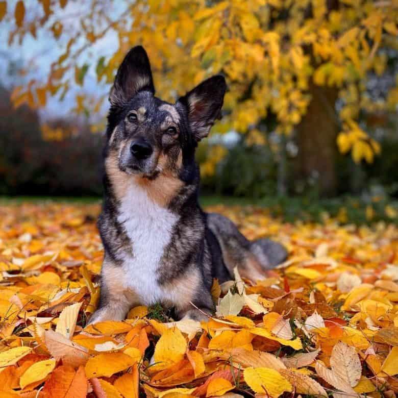 Australian Shepherd Husky mix dog in golden autumn