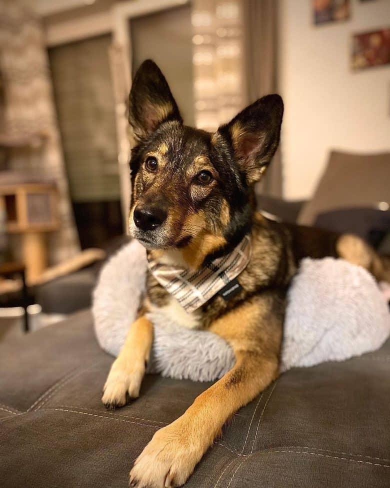 Australian Shepherd Husky mix sitting on bed