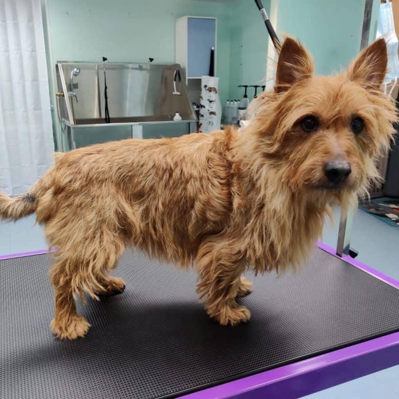 Australian Terrier in the pet grooming salon