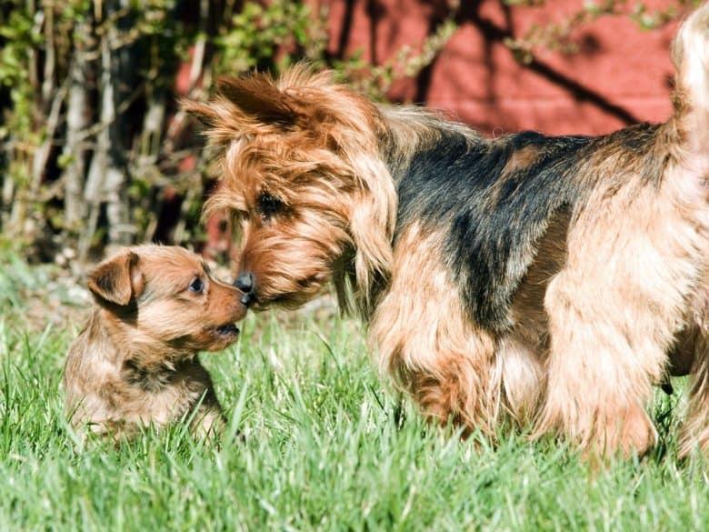 Australian Terrier mother kissing her puppy