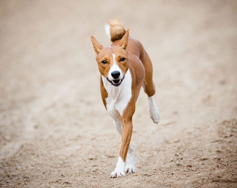 Basenji dog running