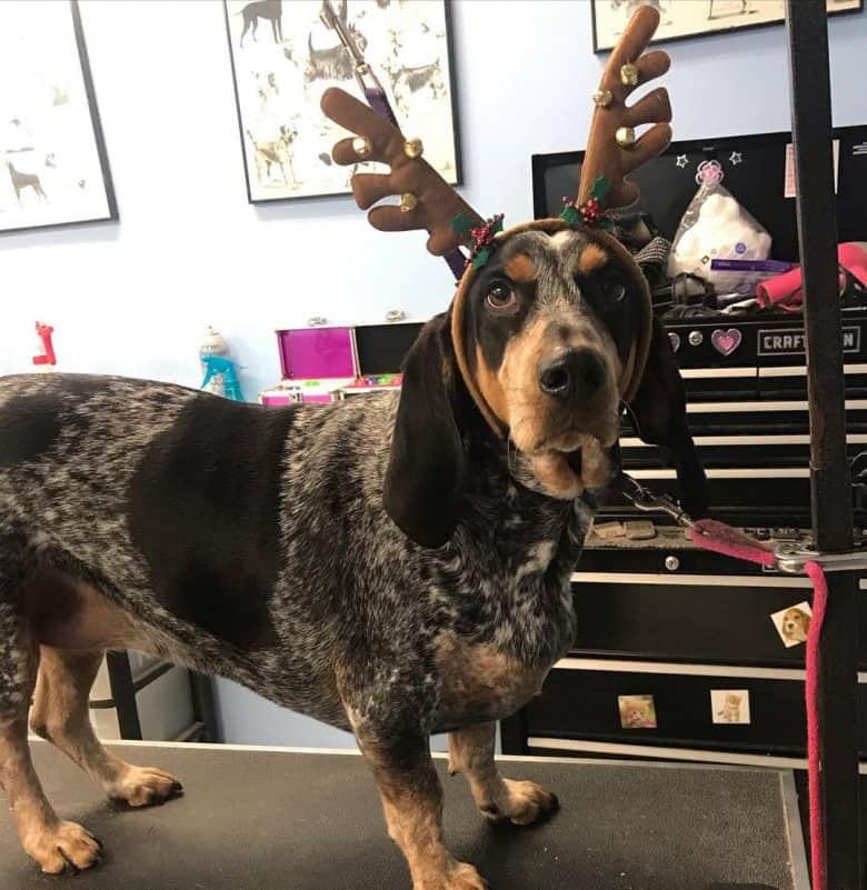 Basset Hound and Bluetick Coonhound mix