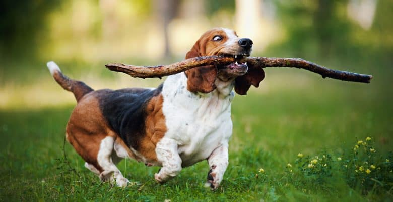 Basset Hound running with stick