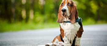 Basset Hound sitting on the road
