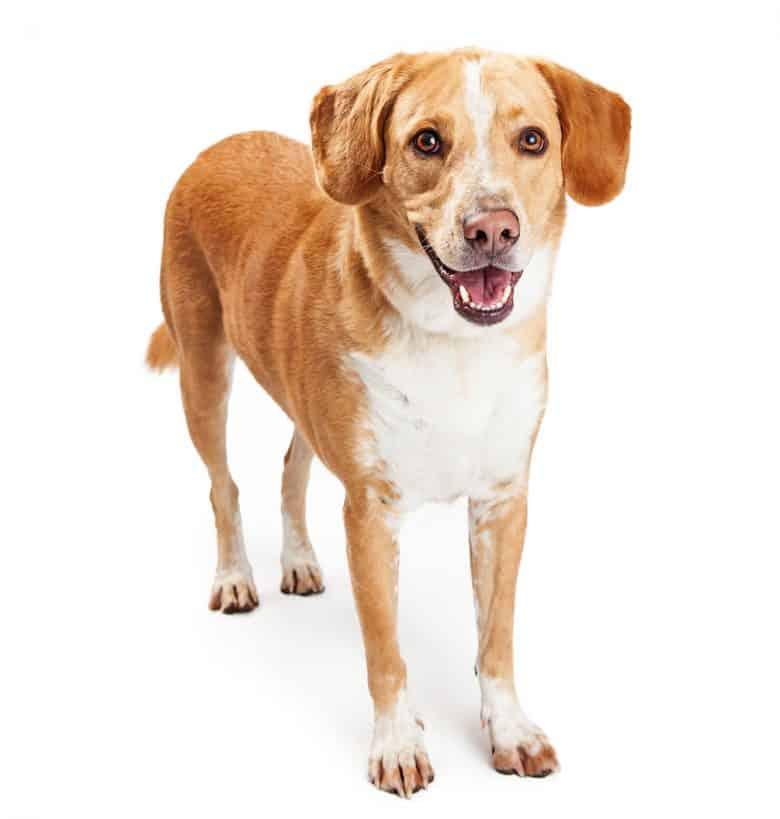 Portrait of a Beagador mix dog