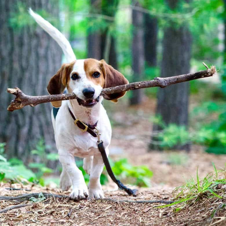 Beagle Basset Hound mix playing under the trees