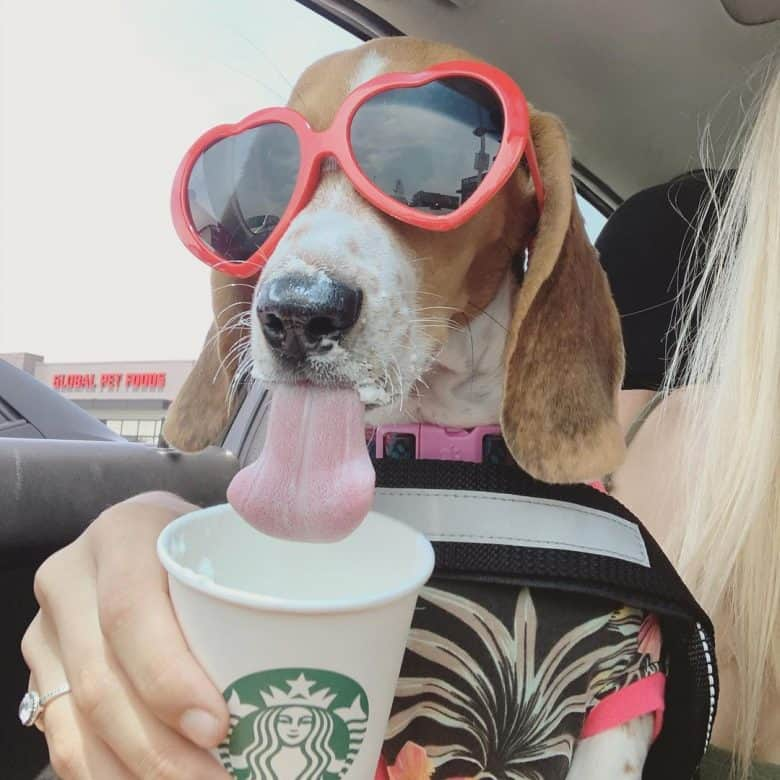Beagle Basset Hound mix drinking inside the car