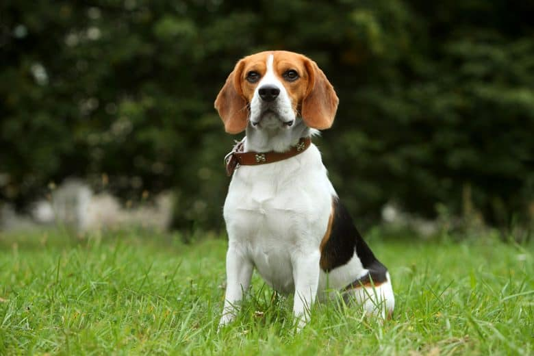 Beagle sitting on the grass