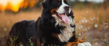 Happy Bernese Mountain dog