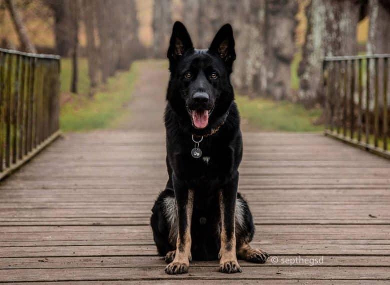 Bicolor German Shepherd